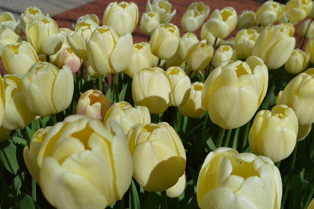 Yellow tulips in bloom at the Albany Tulip Festival in the capital city of Albany, New York, USA