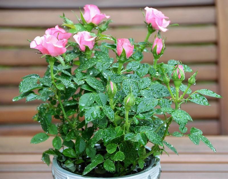 Roses 11.05 (1)
