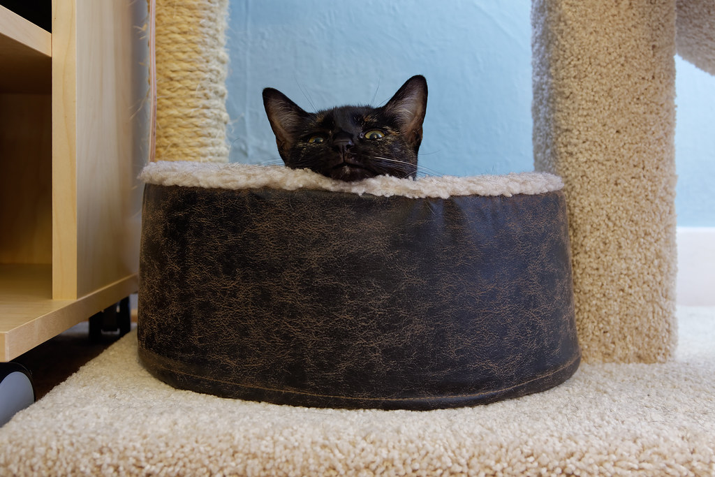 Our cat Trixie rests with her head on the rim of the cat bed