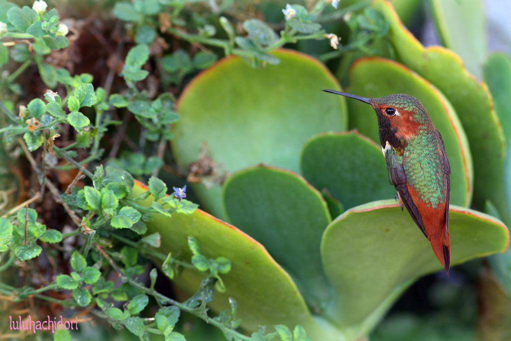 Allen's-Hummingbird-002314