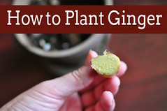 HOw to Plant Ginger