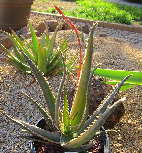 Aloe Coral Fire 1
