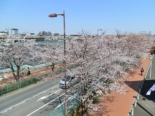 味の素スタジアム周辺の桜が大方開花。いよいよ春本番です。