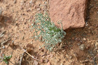 Trachyandra sp.