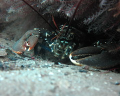 HolderLobster peeks out . Credit: Dr Leigh Howarth