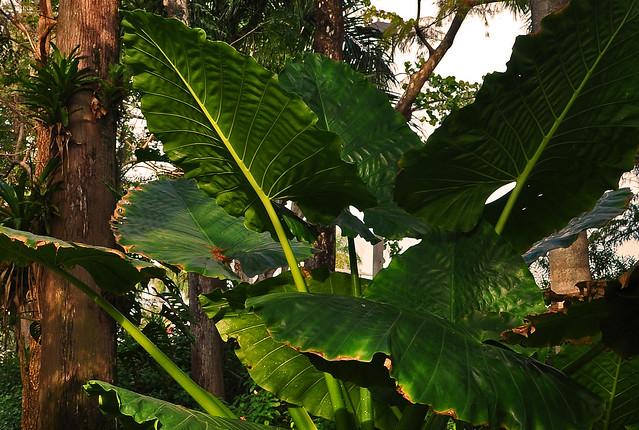 Colocasia (1)