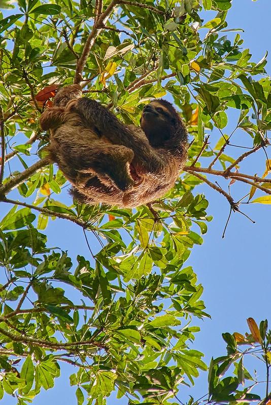 Sloth - Soberanía National Park
