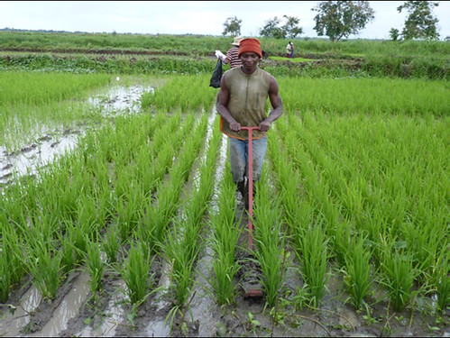 A farmer testing a mechanical weeder introduced under the activities of this project