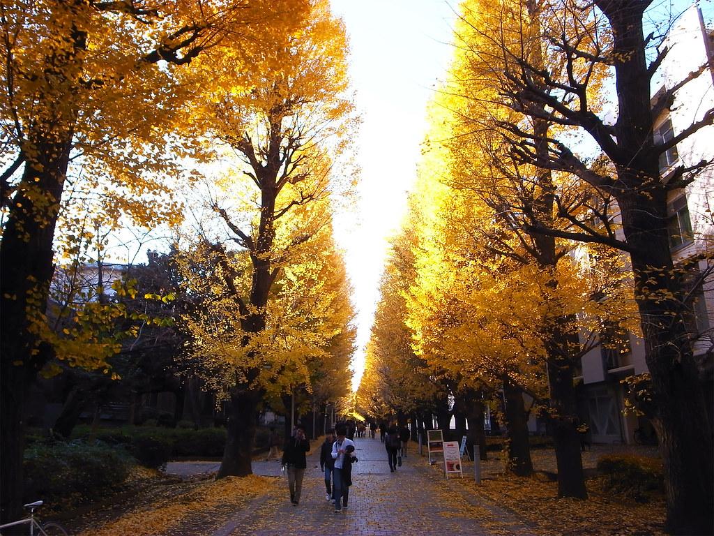 Tokyo-univ_yellow_leaves_