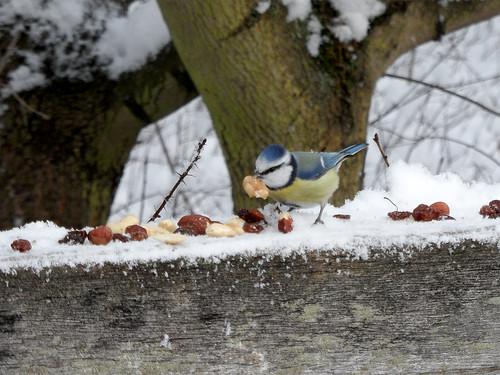 Winterfütterung: Blaumeise mit Nuss