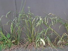 Bromus catharticus plant5 CAN