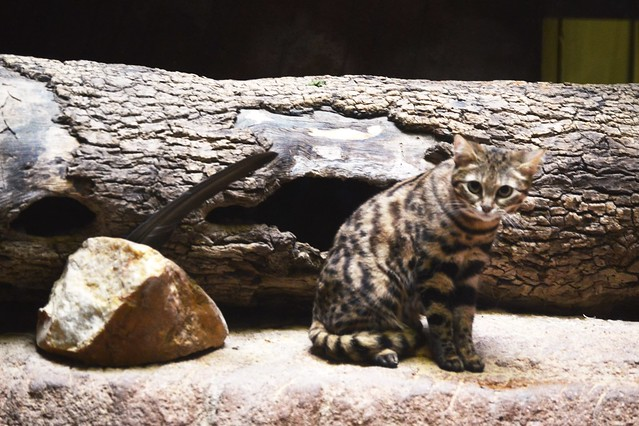 Black Footed Cat in Front