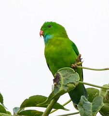 animal, lovebird, parrot, pet, green, fauna, parakeet, common pet parakeet, beak, bird,