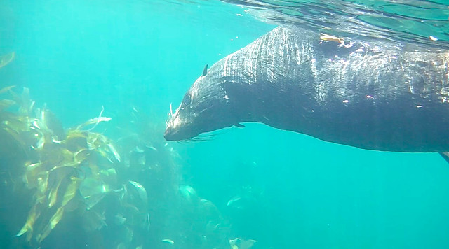 Swimming with New Zealand fur seals in Kaikoura