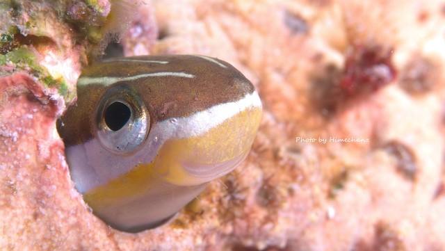テンクロスジギンポ幼魚