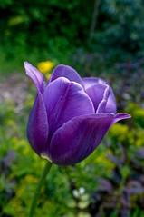 A violet tulip