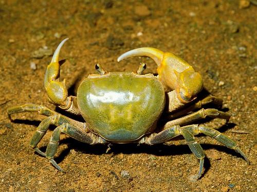 台灣南海溪蟹 (Nanhaipotamon formosanum),產於台灣西部與澎湖的低海拔地區,在水源附近挖洞穴居,耐旱程度較高。(圖片攝影:施習德)