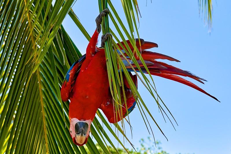 Scarlet macaw - Bocas del Toro