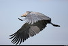 Shoebill stork flight