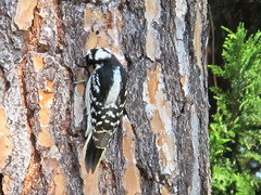 Woodpecker and Bark
