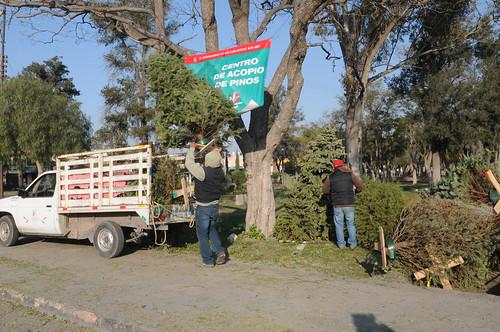 Se instalan centros de acopio de árboles de Navidad