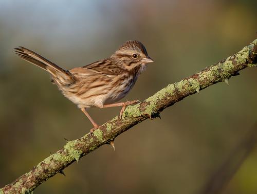 sparrow bird maryland songsparrow bonniecoatesott