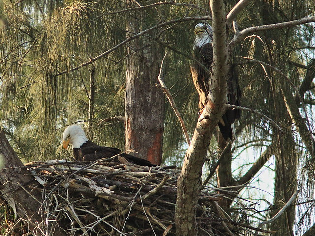 Bald Eagle pair at nest 02-20141030