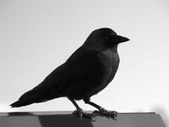 raven(0.0), emberizidae(0.0), rook(0.0), animal(1.0), wing(1.0), crow(1.0), monochrome photography(1.0), fauna(1.0), monochrome(1.0), illustration(1.0), black-and-white(1.0), american crow(1.0), beak(1.0), black(1.0), blackbird(1.0), bird(1.0),