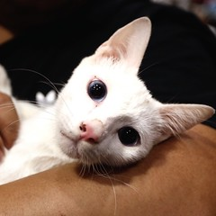 Meet Olaf, a puspin (Pusang Pinoy) breed, rescued from the trash with his brother Sven by PAWS. He was found unweaned with an umbilical cord and needed to be bottle-fed to survive. Instead of resorting to throw the kittens, you can speay or neuter the cat