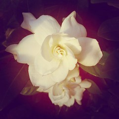I'm pretty sure this is what heaven smells like. Gardenia.