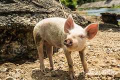 Piglet tied down on the banks of a river in El Nido, Palawan, Philippines