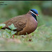Blue-headed Quail-dove (Starnoenas cyanocephala) by Glenn Bartley - www.glennbartley.com