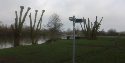 Thames Path pollards....
