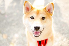 dog breed, animal, akita inu, dog, shiba inu, canaan dog, pet, mammal, greenland dog, finnish spitz, kishu, korean jindo dog,