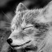 Resting Arctic Fox by CecilieSonstebyPhotography