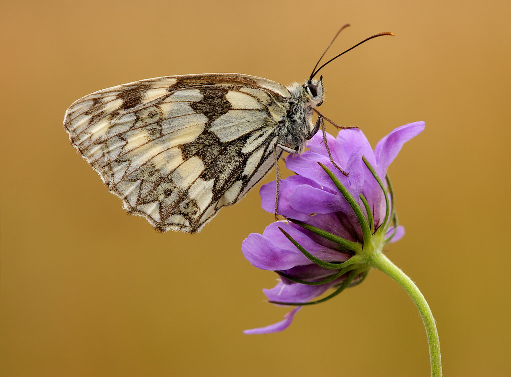 Marbled White, Friston Forest