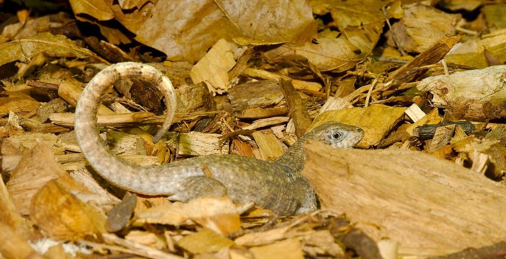 Northern Curlytail Lizard (Leiocephalus carinatus armouri)_3