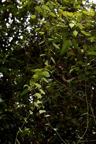 Stephania japonica Millaa Millaa Falls DSC_0394 (6)