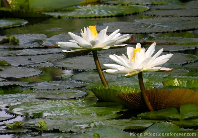 Water lilies in Shibpur Botanical Garden #Kolkata #BotanicGarden #2