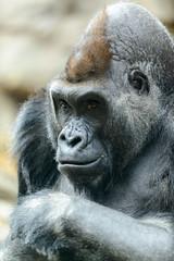 Gorilla Scheming