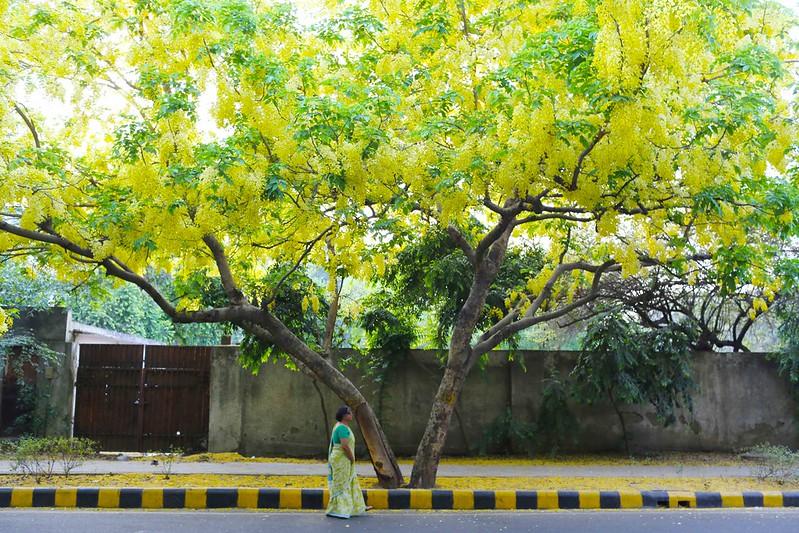Delhi's Bandaged Heart – Anannya Dasgupta's Amaltas Poems, Amrita Shergil Marg