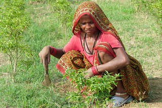 Nepali woman weeds the chili field