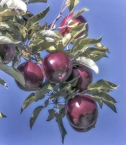 apples_branch_sunlight_102514_llwi