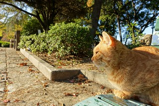 A cat in Mejo park 2014.11 No.2.