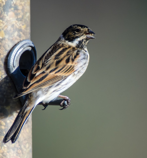 male reed bunting 425 (47)