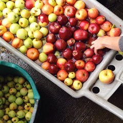 Scenes from a cider pressing
