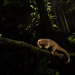 Silky anteater(Cyclopes didactylus) crossing a vine at night by Chris Jimenez Nature Photo