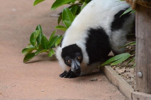 Schwarzweißer Vari im Zoo de La Flèche