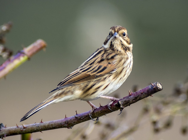 reed bunting female 426 (5)
