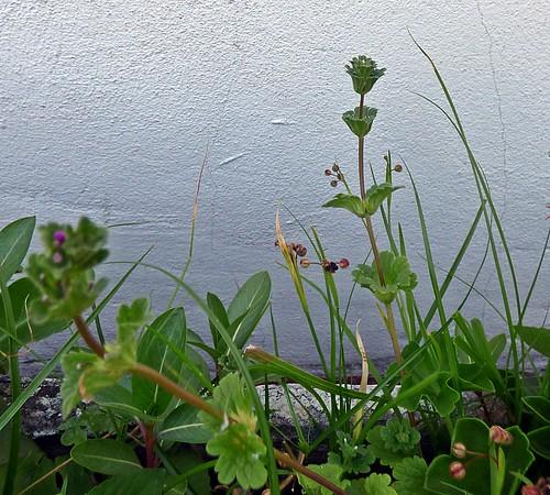 ortiga mansa o Lamium amplexicaule 1